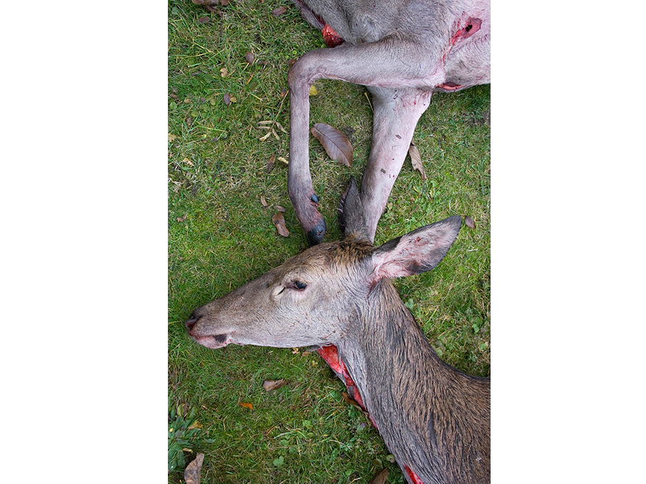 dead dear after a hunt on green grass, red blood