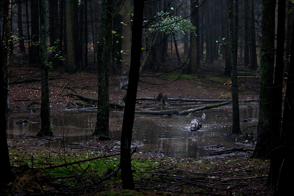 husky dog that looks like a woolf in a puddle in dark german forest
